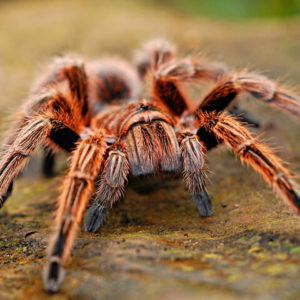 Grammostola rosea RCF - Chilean Rose Red Color FormPhoto Credit: Stelogic - Pixabay