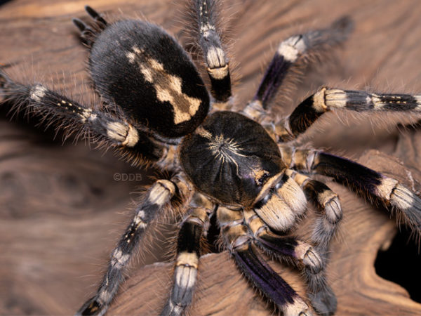 Poecilotheria (subfusca) sp. Lowland - Lowland Ivory Ornamental Tarantula - Mature Female