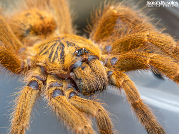 Pterinochilus murinus - Usumbara Orange BaboonPhoto Credit: Isaiah Rosales, FlexZone Arachnoboards