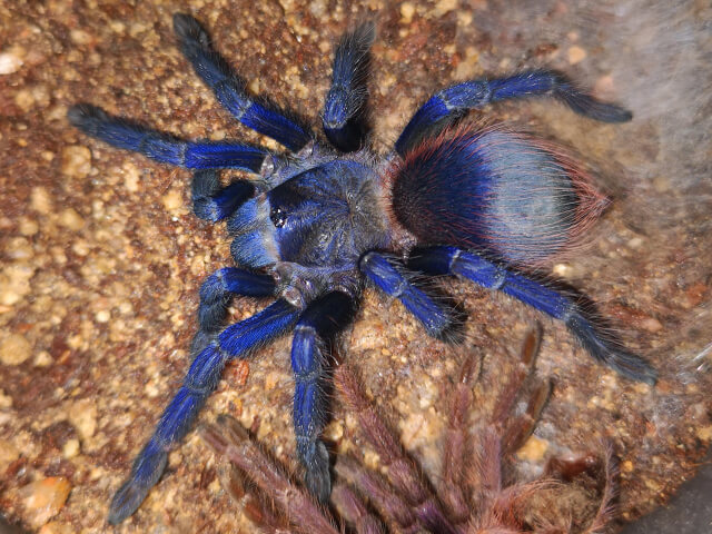 Pterinopelma sazimai - Brazilian Blue - Juvenile Female - Photo Credit: ArachnoshopSA (Color exaggerated due to flash)