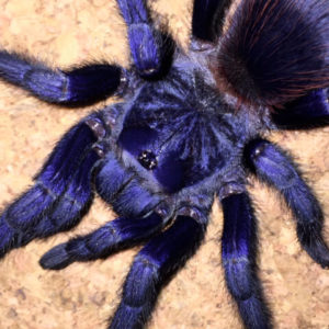 Pterinopelma sazimai - Brazilian Blue - Mature Female - Photo Credit: ArachnoshopSA (Color is exaggerated due to flash)