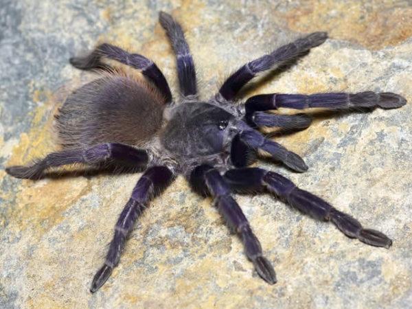 Pterinopelma sazimai - Brazilian BluePhoto Credit: Chase Campbell (CEC Arachnoboards)