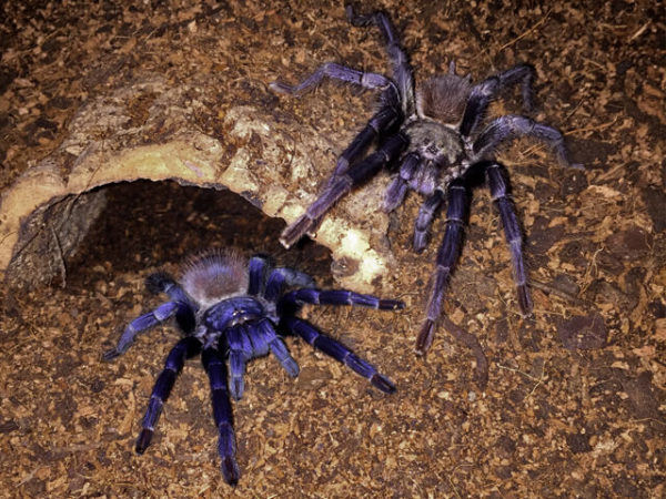Pterinopelma sazimai - Brazilian Blue - Mature Pair - Photo Credit: ArachnoshopSA (Color exaggerated due to flash)