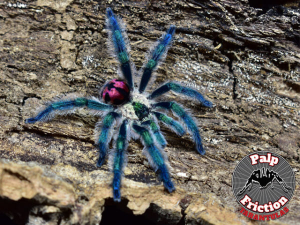 Typhochlaena seladonia - Brazilian Jewel - Mature MalePhoto Credit: https://www.palpfrictiontarantulas.com