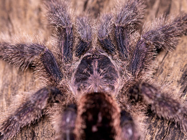 Avicularia juruensis / Avicularia urticans - Peruvian Pink Toe - Mature Female Credit: Danny de Bruyne