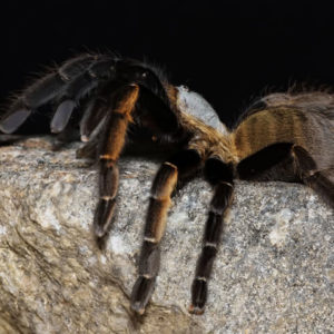 Ornithoctonus aureotibialis - Thai Golden Fringe Tarantula - Mature Female - Photo Credit: Chase Campbell (CEC Arachnoboards)