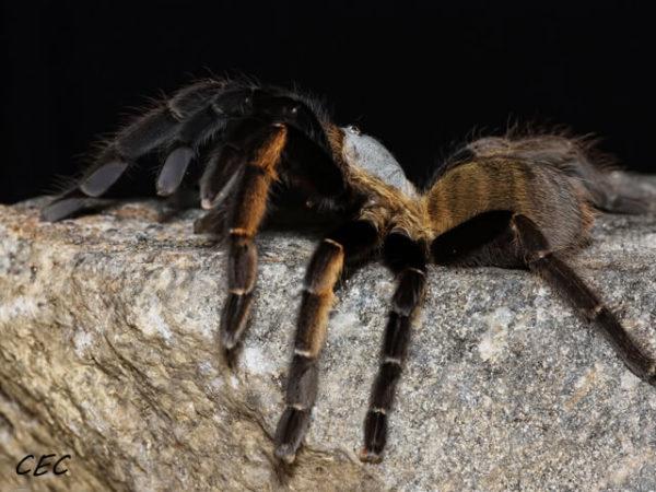 Ornithoctonus aureotibialis - Thai Golden Fringe Tarantula - Mature Female - Photo Credit: Chase Campbell (CEC Arachnoboards)