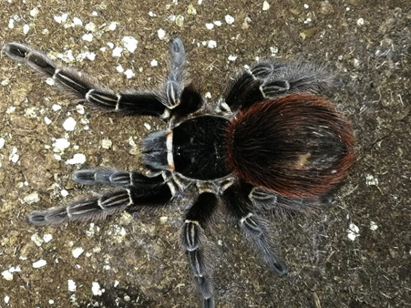 Acanthoscurria chacoana - Bolivian Red Rump - Mature Female. Photo Credit: Lara Rudolph