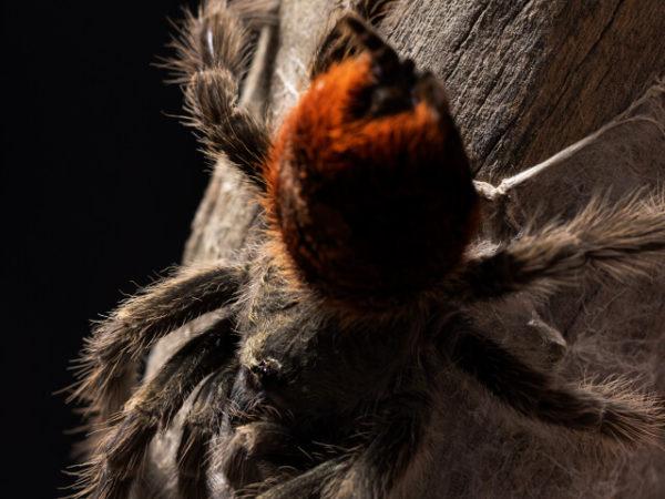 Thirxopelma ockerti - Peruvian Flame Rump - Mature Female. Photo Credit: Danny de Bruyne