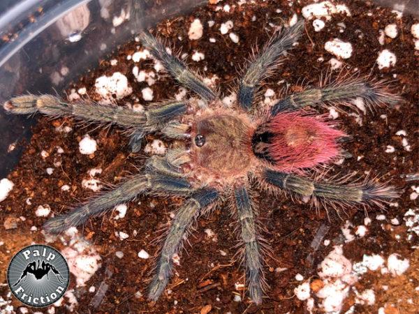 Thirxopelma ockerti - Peruvian Flame Rump - Unsexed Juvenile. Photo Credit: www.palpfrictiontarantulas.com