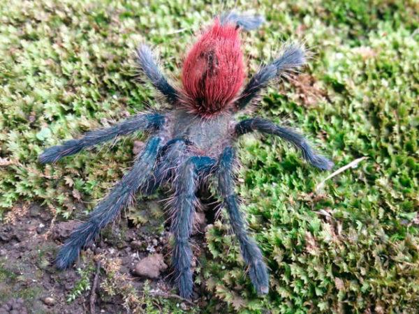 Thirxopelma ockerti - Peruvian Flame Rump - Unsexed Juvenile. Photo Credit: Isaiah Rosales (FlexZone - Arachnoboards)