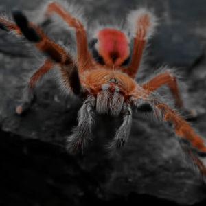 Iridopelma hirsutum - Amazon Ribbed Tarantula - Juvenile Female - Photo Credit: Chase Campbell (CEC Arachnoboards)