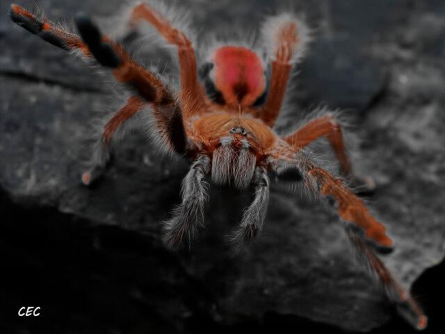 Iridopelma hirsutum - Amazon Ribbed Tarantula - Juvenile Female - Photo Credit: Chase Campbell (CEC Arachnoboards)
