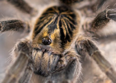 Harpactirella lightfooti - Lightfoot's Lesser Baboon Spider - Mature Female - Copyright © Danny de Bruyne