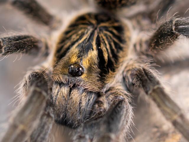 Harpactirella lightfooti - Lightfoot's Lesser Baboon Spider - Mature Female