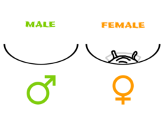 Tarantula Sexing Diagram - Exuvium Sexing - Male vs Female Tarantula - Copyright © Danny de Bruyne