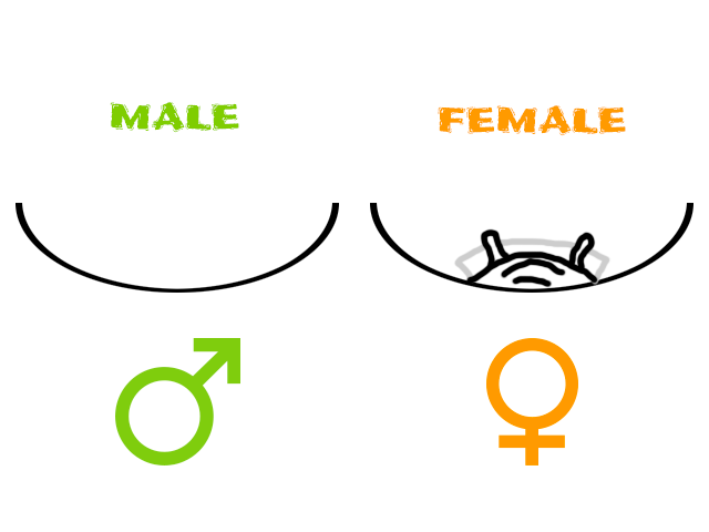 Tarantula Sexing Diagram - Exuvium Sexing - Male vs Female Tarantula