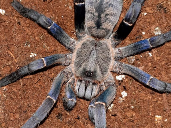 Cyriopagopus longipes - Vietnamese Tiger Tarantula - Mature Female - Photo Credit: Christopher (Color exaggerated due to flash)