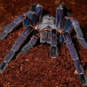 Cyriopagopus longipes - Vietnamese Tiger Tarantula - Mature Female - Photo Credit: Klemen Merzel