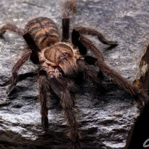 Ornithoctoninae sp. laos - Prison des Abeilles Earth Tiger - Juvenile - Photo Credit: Chase Campbell (Arachnoboards)
