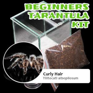 Beginners Tarantula Kit - Tliltocatl albopilosum - Curly Hair Tarantula