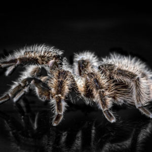 Tliltocatl albopilosum - Curly Hair tarantula - Mature Female Tarantula