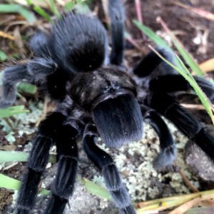 Tliltocatl schroederi -Mexican Black Velvet - Mature Female