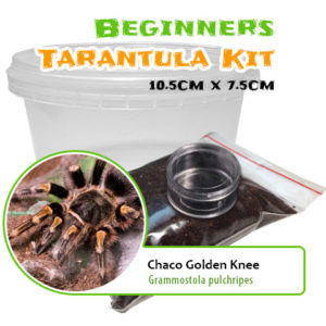 Beginners Tarantula Kit - Grammostola pulchripes - Chaco Golden Knee