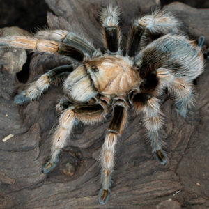 Aphonopelma chalcodes - Arizona Blonde - Mature Female - Photo Credit: Nightstalker47 (Arachnoboards)