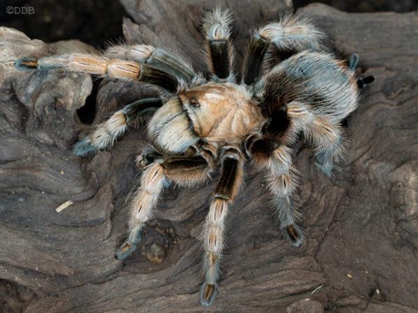 Aphonopelma chalcodes - Arizona Blonde - Mature Female - Photo Credit: Nightstalker47 (Arachnoboards)