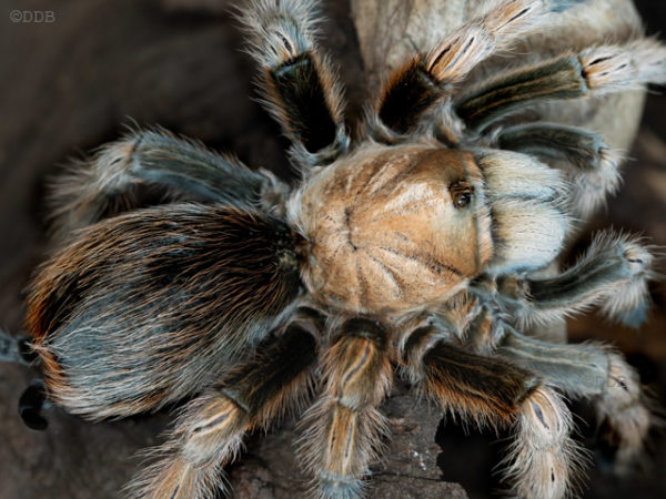 Aphonopelma chalcodes - Arizona Blonde - Mature Female - Photo Credit: ©Danny de Bruyne