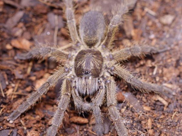 Harpactirella overdijki - Overdijk's Lesser Baboon Spider - Mature Female - Photo Credit: Danny de Bruyne