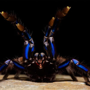 Chilobrachys sp. Electric Blue - Thailand Electric Blue - Mature Female - Photo Credit: Chase Campbell