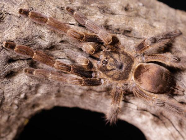 Tapinauchenius cupreus - Violet Tree Spider - Mature Female - Copyright © Danny de Bruyne