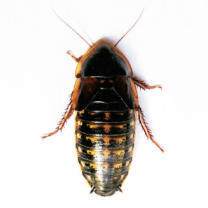 Blaptica dubia - Orange Spotted Roach / Cockroach