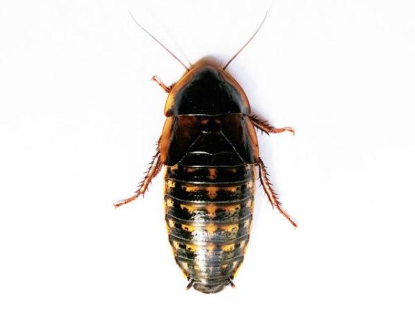 Blaptica dubia - Orange Spotted Roach / Cockroach - Copyright © Danny de Bruyne