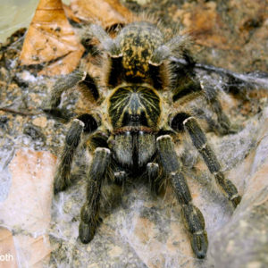 Ceratogyrus meridionalis - Zimbabwe Grey Baboon - Mature Female - Photo Credit: LR Tarantulas and more