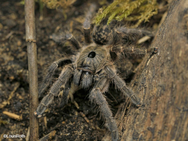Ceratogyrus sanderi - Namibian Horned Baboon - Sub-Adult Female - Photo Credit: Louis Roth - L.R. Tarantulas and more