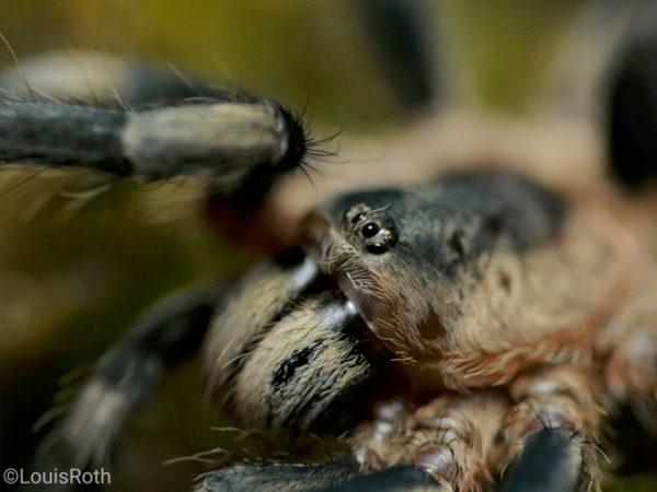 Cyriocosmus ritae - Peruvian Black and White Dwarf - Mature Female - Photo Credit Louis Roth, L.R. Tarantulas and more