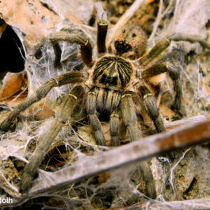 Harpactira curator - Malvern Starburst Baboon Spider - Young Female - Photo Credit: LR Tarantulas and more