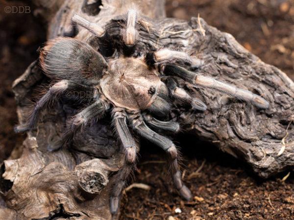 Lasiodorides polycuspulatus - Peruvian Blonde Tarantula - Mature Female - Copyright © Danny de Bruyne