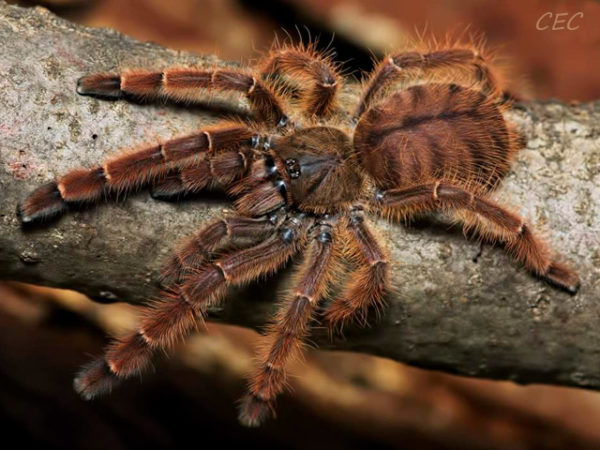 Phormingochilus sp. rufus (Java) - Peach Earth Tiger - Juvenile Female - Photo Credit: Chase Campbell, CEC Arachnoboards