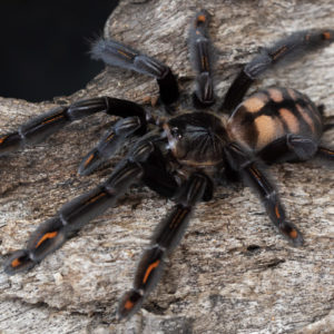 Psalmopoeus irminia - Venezuelan Sun Tiger - Mature Female - Photo Credit: Danny de Bruyne