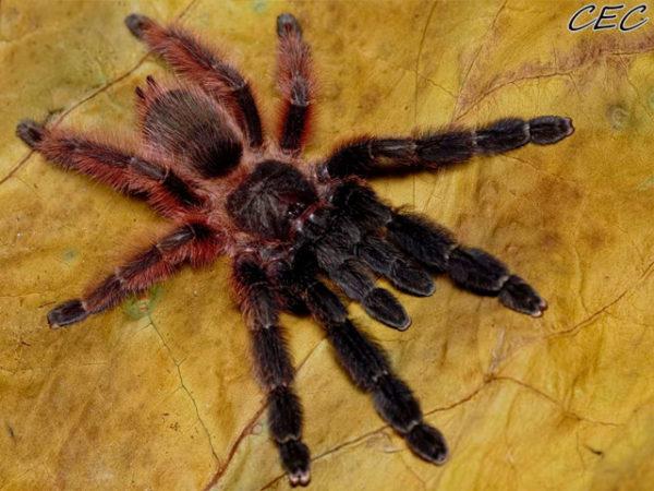 Psalmopoeus victori - Darth Maul Tarantula - Mature Female - Photo Credit: Chase Campbell