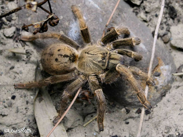 Pterinochilus lugardi - Tanzanian Blonde Baboon Spider - Mature Female - Photo Credit: LR Tarantulas and more