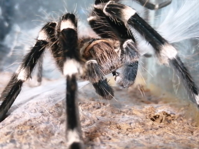 Acanthoscurria geniculata - Giant White Knee - Mature Male loading his pedipalps with sperm from a fresh sperm web.