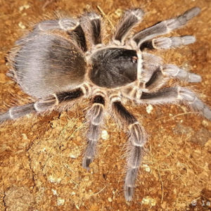 Acanthoscurria cordubensis - Rusty Brown Bird Eater - Adult Female - Photo Credit: Ian Luyt