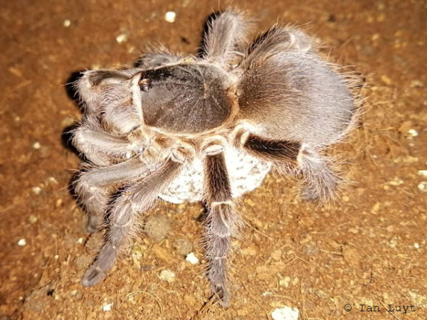 Acanthoscurria cordubensis - Rusty Brown Bird Eater - Adult Female with Egg Sac - Photo Credit: Ian Luyt