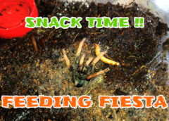 Feeding Fiesta EP01 - Tarantula Feeding Video
