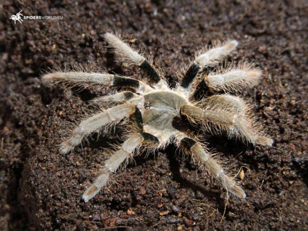 Hysterocrates laticeps - Nigerian Rust Leg - Juvenile Female - Photo Credit: Spidersworld.eu